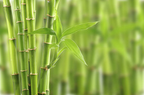 Bamboo growing